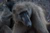 Babuino (teresacach) Tags: kruger sudafrica babuino nature africa