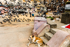 @ Outside City palace,Jaipur. (vjisin) Tags: rajasthan india iamnikon nikond3200 asia incredibleindia indianheritage travelphotography travel nikon touristplace man streetphotography indianstreetphotography dog chaos calm citypalace