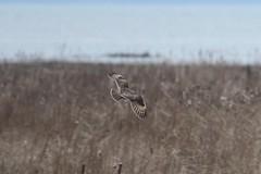 Short-eared Owl (Terrance Carr) Tags: 201201 brunswick ferry dncb port terry carr 20120109 2012 january terrycarr