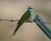 We're going on a bee-hunt (Grumpys Gallery) Tags: greenbeeeater birds wildlife nature mirdif dubai uae