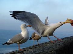 goelands (camaroem56) Tags: france bretagne ille et vilaine saint malo armor mer oiseaux marins