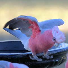 THE AFTERNOON FEEDING (16th man) Tags: toowoomba westbrook qld queensland australia canon eos eos5dmkiii bird parrot galah pinkgalah lorikeet rainbowlorikeet