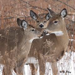 Photo de famille (la mère à droite) (Yves Déry) Tags: cerfdevirginie groupe hiver2017 parcnationaldesîlesdeboucherville nature wildlife mammifère mammal juvénile whitetaileddeer québec canoneos7d canonef300mmf4lisusm