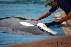 Cuddles time 03 (NamikaOrcas) Tags: kiska killerwhale orca black white orque épaulard marineland niagarafalls niagara ontario canada summer
