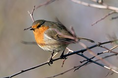 Robin (Ultimate Eeyore 2) Tags: stanford break bird oxfordshire nature wildlife robin nikon d500 sigma