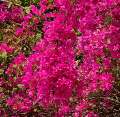 Beautiful magenta bougainvillea paper flowers (phuong.sg@gmail.com) Tags: abstract azalea background beautiful beauty blooming blossom blue botanical botany bougainvillea bright bunch colorful common day decoration decorative deep detail elegance flora floral flower forest fresh garden gardening green growth magenta natural ornamental outdoor park pattern peace petal pink plant purple season sharp spring summer sunny texture tree tropical