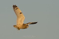 Short-eared owl with prey (fire111) Tags: shorteared owl prey velduil prooi muis bif bird flight uil nature birding wild wildlife explore