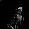 Northern bald ibis (Simmie | Reagor - Simmulated.com) Tags: 2016 animals connecticutphotography december florida jacksonvillezoo landscape landscapephotography nature naturephotography outdoors photography seascape unitedstates vacation zoo digital jacksonville us animalplanet animal