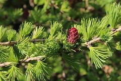 Larix laricina-16 (The Tree Library (TreeLib.ca)) Tags: tamarack larixlaricina