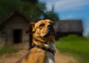How about this look (paulius.malinovskis) Tags: sony sonya7r summer lithuania countryside nature vacation cottage manual helios442 russian legacy legacyglass 58mm bokeh dog master pose portrait