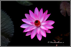 6642 - water lily (chandrasekaran a 38 lakhs views Thanks to all) Tags: waterlily lily flowers nature india chennai canon60d
