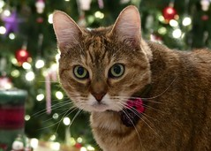 Christmas Cat (nikagnew) Tags: freya browntabby adopt christmas christmastree cat whiskers greeneyes lights bokeh