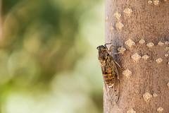 cretan cidacda (Zikade) (www.carbonat380.de) Tags: crete fz1000 greece kreta leica lumix panasonic vario zikade bridge cicada travelphotography animal insect makro micro macro