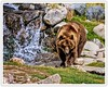 Roaming Grizzly Bear (Hawg Wild Photography) Tags: grizzlybear grizzlywolfdiscoverycenter bear bears wildlife nature animal animals predator terrygreen nikon nikon200400vr d810 hawg wild photography