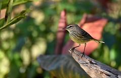 Palm Warbler DSC_5419 (blthornburgh) Tags: palmwarbler bird songbird thornburgh tampa florida nature backyard