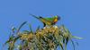 Rainbow Lorikeet (Trichoglossus haematodus) (Arturo Nahum) Tags: australia aves animal arturonahum birdwatcher bird birds wildlife wild cairns queensland