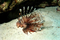 Common Lionfish (Oikoman) Tags: lionfish egypt red sea diving scuba underwater fish