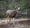 Mule Deer (Turk Images) Tags: borealforest eastslope jaspernationalpark muledeer odocoileushemionus rockymountains rut breedingseason alberta cervidae mammals fall
