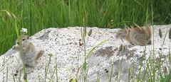 Urocitellus beldingi; 20100808; US-CA-Lyell Canyon (JMT) (plantpollinator) Tags: urocitellusbeldingi urocitellus sciuridae rodentia mammal