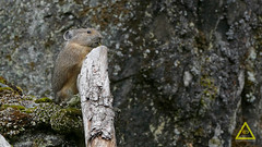 Pika Standing Montana 1 (jerefolgert) Tags: huckleberry pika ochotona princeps montana wyoming yellowstone cute fur feet close beautiful carry mouth lichen moss talus mountains summer standing chewing stick branch upright