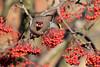 9P1A7993a Bohemian Waxwing (Blackburn) (Adrian Dancy) Tags: nature wildlife wildbird bohemianwaxwing bohemianwaxwings bohemian waxwing berries migrant winter wintermigrants canon7dmkii