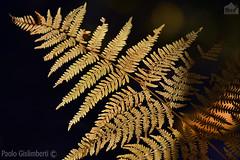 felce, fern (paolo.gislimberti) Tags: wood bosco sottobosco undergrowth alberi trees controluce backlighting autumn autunno autumnalcolors coloriautunnali