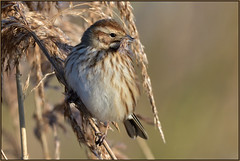 Reed Bunting (f) (Full Moon Images) Tags: rspb lakenheath fen wildlife nature reserve suffolk bird female reed bunting