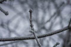 Delicate (Max Jongkoen) Tags: tree cold koud vorst boom takje rijp brrr thenetherlands
