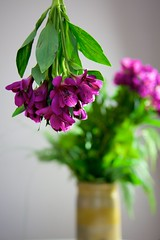 Alstroemeria Duo (The Good Brat) Tags: alstroemeria purple violet fushia magenta upsidedown two duo