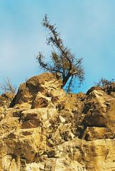 Cedar Hanging Over the Edge (Nsharp17) Tags: canon canonae1 35mm film kodak ultramax ultramax400 rock rocks cliff cliffs cedar tree cliffhanger orange goldenhour sunset burlington vermont lonerockpoint