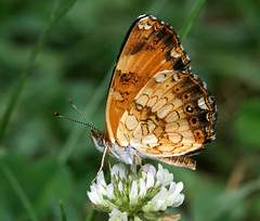 Silvery Checkerspot (cotinis) Tags: orange butterfly insect nc july lepidoptera midsize nymphalidae bmna ventral nymphalinae chlosyne chlosynenycteis silverycheckerspot