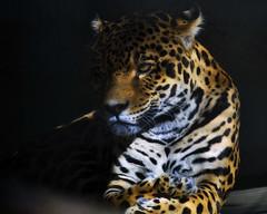 Captive Jaguar, in repose. (Belltown) Tags: animal zoo jaguar captive woodlandpark interestingness97 i500 explore20feb06 flickrbigcats