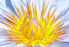 heart of gold (monkeyc.net) Tags: city flowers summer flower macro sunshine gardens canon eos pc bravo australia 2006 brisbane explore queensland glowing experimentation top10 dslr exploration eos350d parklands romastreet feb21 monkeycnet