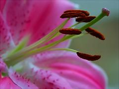 lily (algo) Tags: flower macro wow photography interestingness topf50 bravo lily gutentag topv1111 topv999 stamens pistil petal explore pollen algo 50f explore11 abigfave
