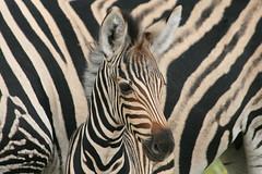 zebrajong tegen moederachtergrond (Dick Verton ( more than 13.000.000 visitors )) Tags: africa travel topf25 animal 500v20f south krugerpark wildanimals specanimal