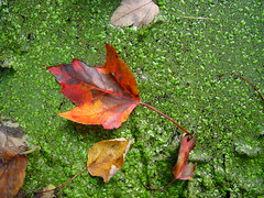 """Leaf falling on to duckweed"" (roddh) Tags: autumn orange brown green fall colors leaf maple pond woods sony cybershot duckweed f707 roddh"