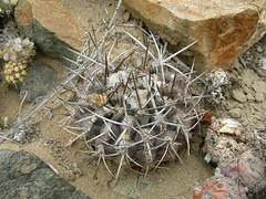 JA62_Eriosyce heinrichiana (Spiniflores) Tags: eriosyce heinrichiana sphaerica cumulopuntia eriosyceheinrichiana ja62 cumulopuntiasphaerica
