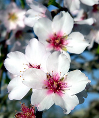 almond dreams (julioc.) Tags: flowers macro portugal nature beautiful ilovenature faro lumix fz20 petals spring bokeh quality almond algarve anthers naturesfinest j100 spring06 julioc judgementday49 cy2 challengeyouwinner 3waychallenge photographybyjulioctheblog favescontestwinner naturewatcher mostbeautifulflowers damniwishidtakenthat