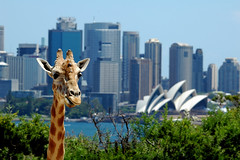High Above Sydney - sydney itsong – harbour zoo day giraffe cityscape taronga itsong–adayatthezoo cmface high