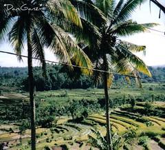 71 Bali - Risaie e campi intorno a Iseh (*DaniGanz*) Tags: trees bali verde green alberi palms indonesia ricefield palme campi risaie iseh daniganz