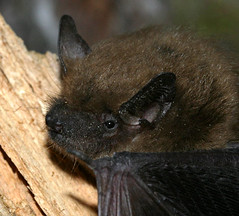 Big Brown Bat--detail of head
