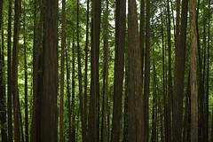 400+ feet tall (Ali Brohi) Tags: california trees green 20d canon eos woods muirwoods jungle bayarea monkeys forests baboons photosynthesis seedingchaos moazzambrohicom httpwwwmoazzambrohicom wwwmoazzambrohicom