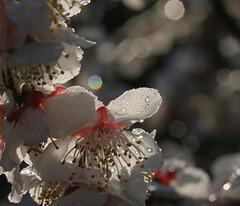 Plum blossom - White (joka2000) Tags: white japan spring blossom plum