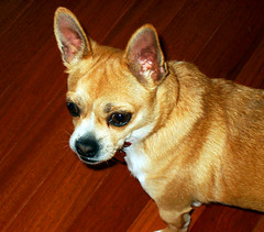 Must see Chihuahua Chubby Adorable Dog - 107486634_f76de2d0d0_m  Snapshot_8591  .jpg
