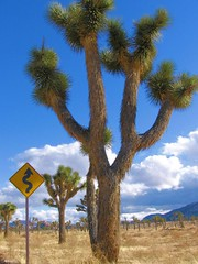 Joshua Tree (pranav_seth) Tags: tree ilovenature desert joshuatree roadsign curve joshutreenationalpark
