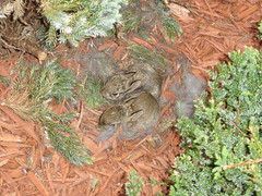 Baby Bunnies in our landscaping (Denube) Tags: bunnies explore specnature