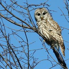 Barred Owl (Padrone) Tags: winter nature beautiful wildlife owl barredowl naturescenes strixvaria canon24105f4lis sunkissedbirds specnature