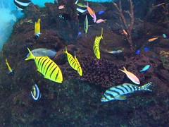 Tropical fish (Haseo) Tags: fish aquarium tropical akita   tropicalfish  oga