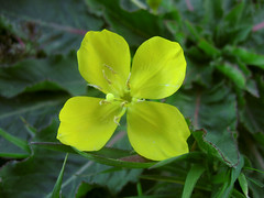 Sun Cup (Dawn Endico) Tags: california flower yellow native wildflower primrose camissonia eveningprimrose sanmateocounty onagraceae suncup 4petals goldeneggs wfgna openspacepreserve windyhillopenspacepreserve camissoniaovata