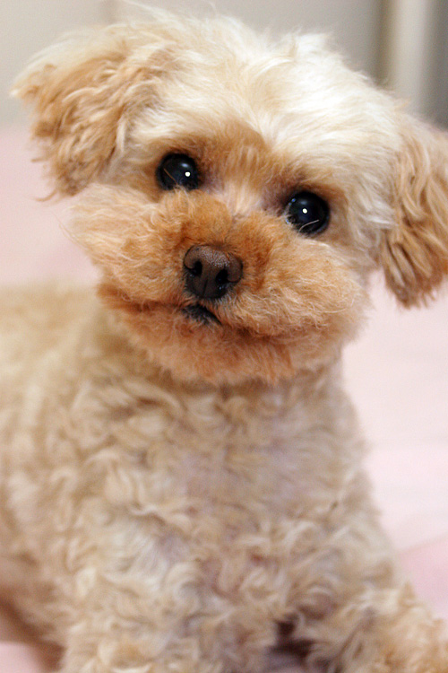 Misty, Apricot Colored Teacup Poodle